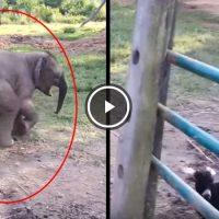 elefante ve una cabra y grita