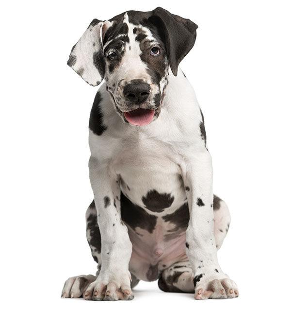 gran danés cachorro