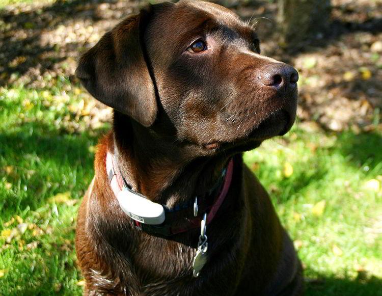 cachorro labrador chocolate
