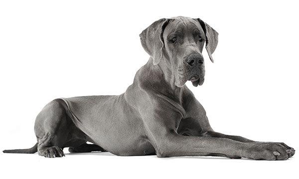 gran danés blue perro