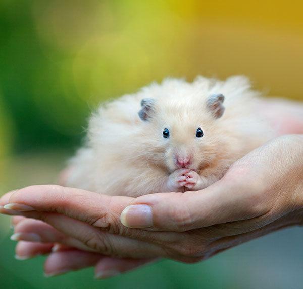 hamster pelo largo