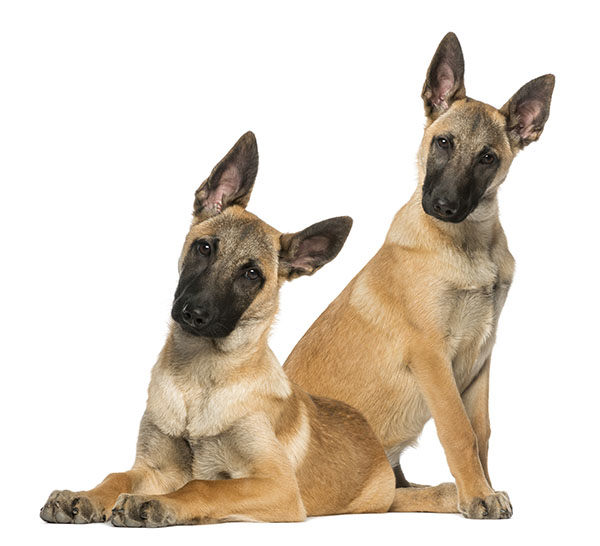 malinois cachorros
