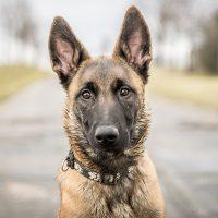 malinois perro