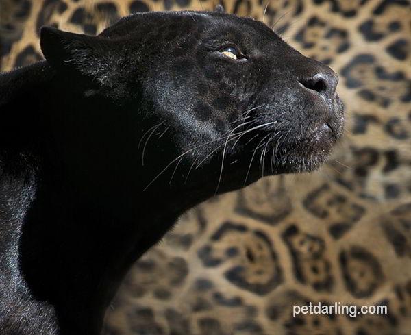 pantera animales de la selva
