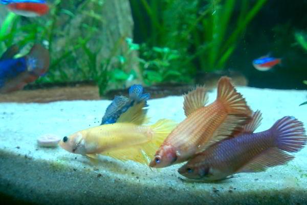 pez betta hembra