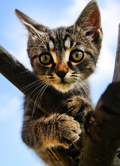 cuando es adulto un gato