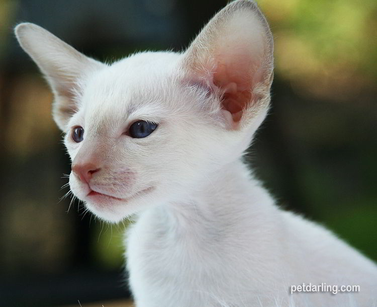 gato blanco siames