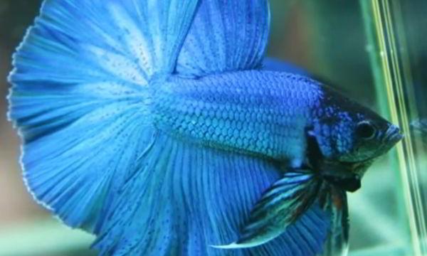 nombres para peces betta azules