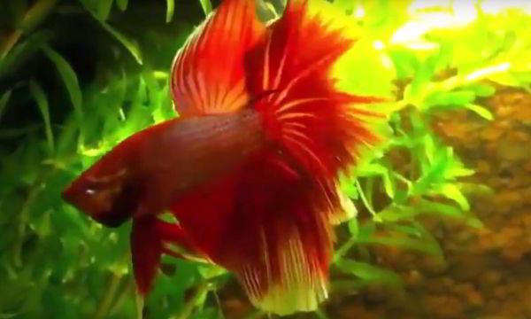 pez betta macho