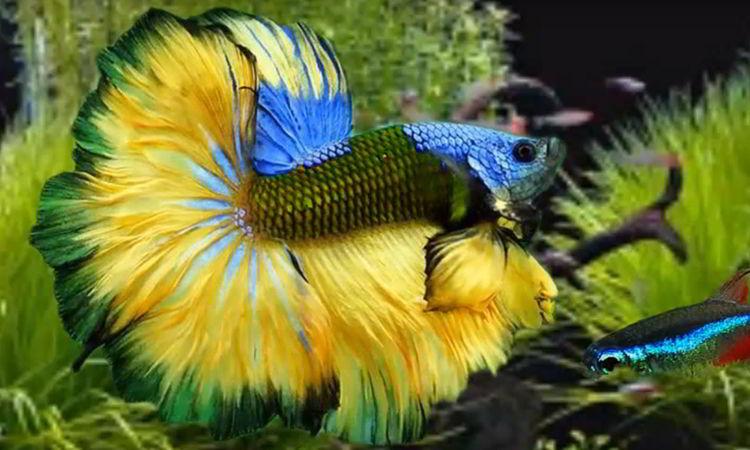 peces betta