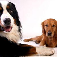 dieta para perros con insuficiencia renal