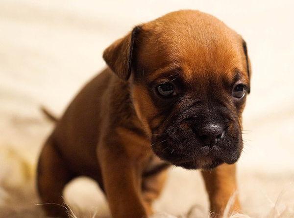 pulgas en cachorros recien nacidos