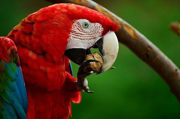 aves herbívoras