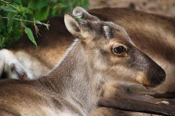 ejemplos de animales herbivoros