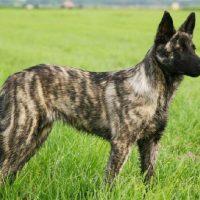 perro pastor holandes
