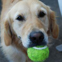 como enseñar a un perro a traer la pelota