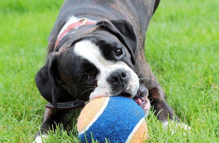 enseñara a un perro a traer la pelota