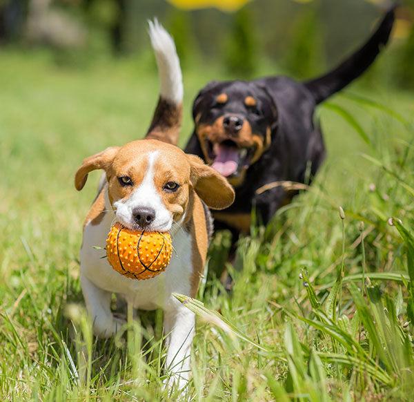 enseñar a tu perro a traer la pelota