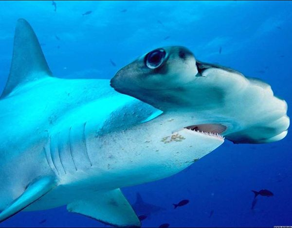 tiburon martillo viviparo