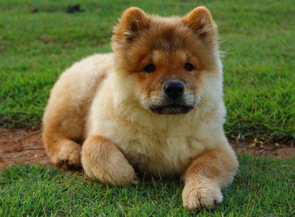 cachorro chow chow