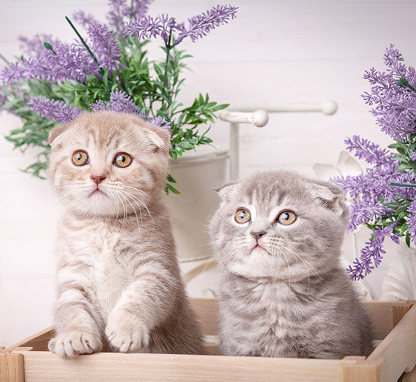 gatitos bebe scottish fold