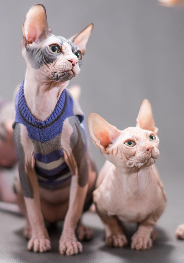 gatos Bambinos sin pelo