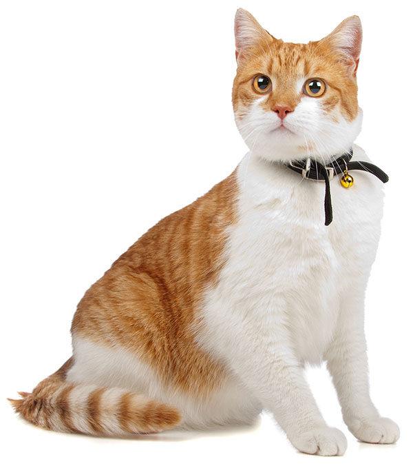 gato común europeo atigrado