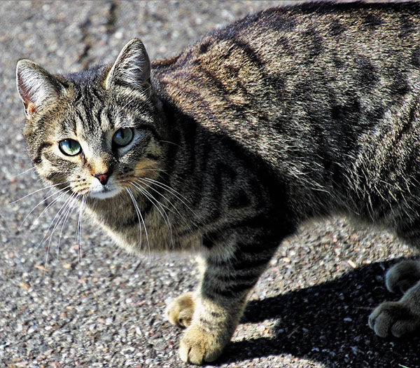 gato común atigrado