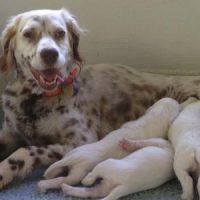 setter ingles cachorros