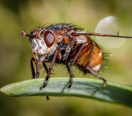ejemplos de insectos vivíparos
