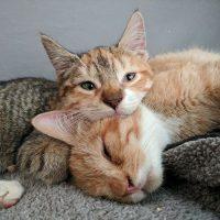 gatitos enfermedad genetica