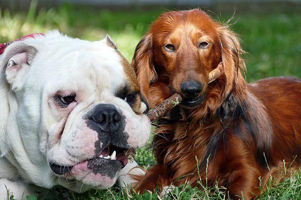 razas de perros con orejas largas
