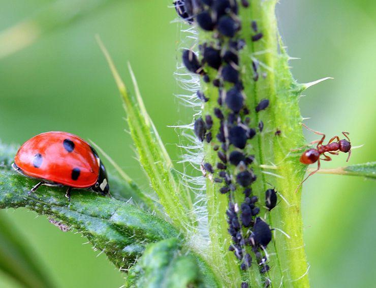 insectos vivíparos