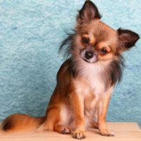 como levantar las orejas de un perro