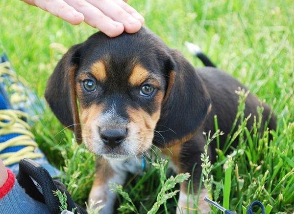 perros con orejas largas y peludas