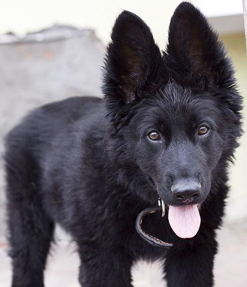 ombres para perros pastor aleman