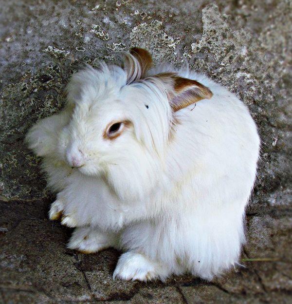 conejo de angora blanco