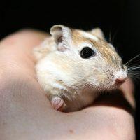 llegada del hamster a casa
