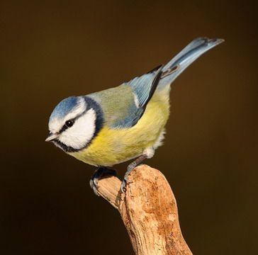 nombres de pájaros cantores