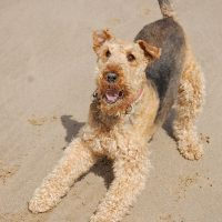 raza airedale terrier