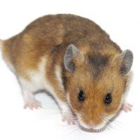 como cuidar hamsters