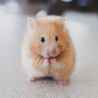 cuantos años vive un hamster