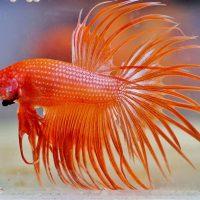 comida para mejorar el color de los peces