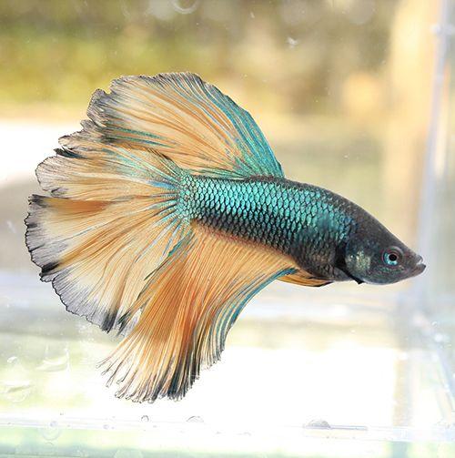 como saber si pez betta es macho