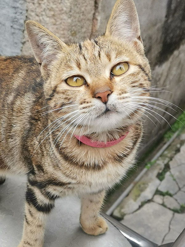 gato munchkin precio
