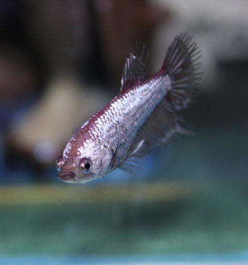 pez betta macho o hembra