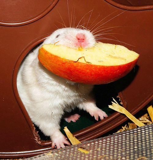 frutas y verduras que comen los hamster
