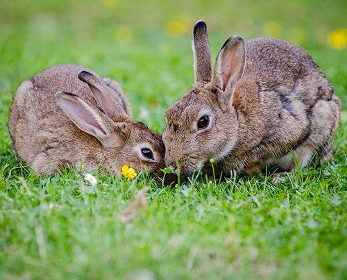 conejo tiene diarrea