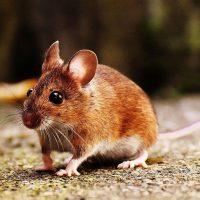 diferencias entre ratas y ratones