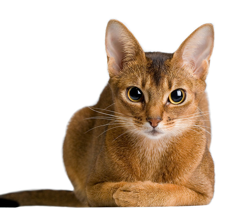 gato raza Abisinio